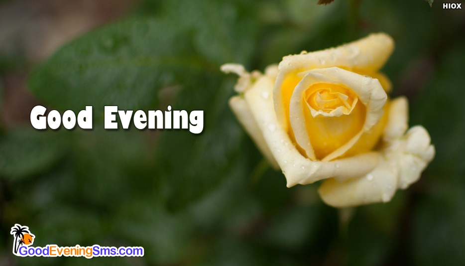 Evening Wallpaper With Rose - Good Evening SMS for Wallpaper