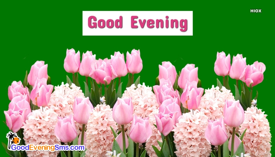Good Evening SMS Pictures with Pink Rose