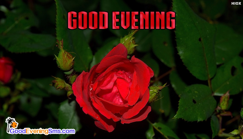 Good Evening SMS Pictures with Red Rose